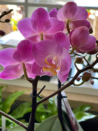 Blumen-Hofer_Orchidee2
